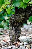 Gnarled vine stock shaded with leafy canopy of new growth