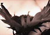 Sunflower, close-up, b&w
