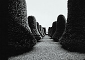 Rows of topiary hedges, b&w