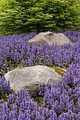 Purple Flowers Growing Around Rocks, Washington, USA