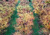 Autumn Leaves on Orchard Trees, High Angle View, Washington, USA
