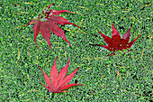 Red Autumn Leaves Floating in Pond of Algae