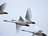 Flock of Swans Flying Through Overcast Sky