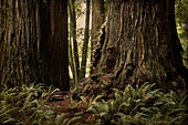 Tree Trunks and Tall Trees, Redwood National Park, California, USA