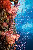 Colorful Coral Reef, Makogai, Lomaviti, Fiji