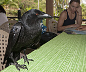 Crow pilfers in popular restaurant, Corvus sp., Los Haitises National Park, Dominican Republic