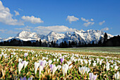 View over meadow with crocuses in blossom to snow-covered Karwendel mountains, Kruen, Werdenfelser Land, Bavarian Alps, Upper Bavaria, Bavaria, Germany
