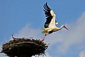 Stork at nest, Usedom, Mecklenburg-Western Pomerania, Germany