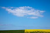 Wolke über einem Rapsfeld, Halbinsel Wittow, Insel Rügen, Ostsee, Mecklenburg-Vorpommern, Deutschland