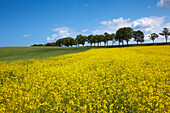 Tree-lined alley and yellow rapeseed field, Wittow peninsula, Ruegen island, Baltic Sea, Mecklenburg-West Pomerania, Germany