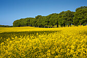 Tree-lined alley and yellow rapeseed field, near Vilmnitz, Ruegen island, Baltic Sea, Mecklenburg-West Pomerania, Germany