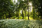 Kastanienallee und blühender Bärlauch, Schlosspark Putbus, Insel Rügen, Ostsee, Mecklenburg-Vorpommern, Deutschland, Europa