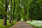 Chestnut alley and wild garlic, palace garden, Putbus, Ruegen island, Baltic Sea, Mecklenburg-West Pomerania, Germany, Europe