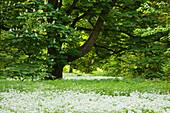 Kastanie und blühender Bärlauch, Schlosspark Putbus, Insel Rügen, Ostsee, Mecklenburg-Vorpommern, Deutschland