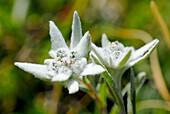 France, Alps, Savoie, Parc national de la Vanoise, edelweiss