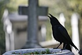 France, Paris, Crow on a grave
