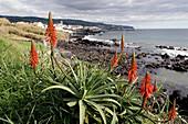 Azores archipelago, aloe vera