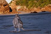 Australia, Queensland, Cape Hillsborough National Park, agile wallaby (Macropus agilis)