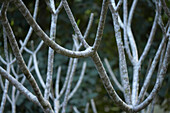 Bare Branches, Close-Up, Belize