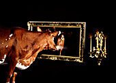 Cow Staring in Mirror