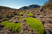 Cushion plant, Zion Vale, Walls of Jerusalem National Park, UNESCO World Nature Site, Tasmania, Australia