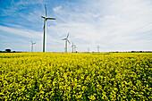 Renewable energies, windfarm in a rape field, Schleswig Holstein, Germany, Europe