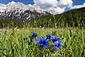 Gentian in an alpine meadow, Werdenfelser Land, Upper Bavaria, Germany, Europe