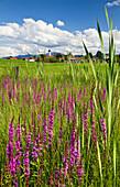Meadow with purple loosestrife in summer, Iffeldorf, Upper Bavaria, Bavaria, Germany, Europe