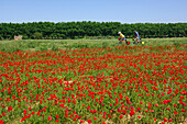 Two cyclists cycling past a field full of poppies, Canal du Midi, Midi, France, MR