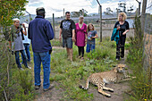 People looking at a cheetah at close range, Tenikwa, Garden Route, South Africa