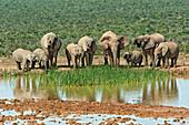 Elephants at the waterhole, Addo Elephant National Park, Eastern Cape, South Africa