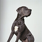 Danois (dogue allemand)