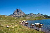 Herd of cattle at lake Lac Roumassot, Pic du Midi d'Ossau in background, Ossau Valley, French Pyrenees, Pyrenees-Atlantiques, Aquitaine, France