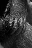 Close-up of gorilla's hand