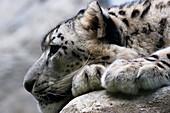Leopard resting, close-up