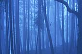 Foggy forest in Alishan Mountains, Alishan Chiayi County, Taiwan, Asia