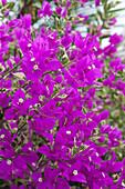 Gloriously flowering purple bougainvillea, near Kanchanaburi, Thailand