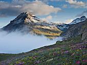 Flower meadow in front of the Alps, Piz Muragl, Bernina Pass, Grisons, Switzerland, Europe