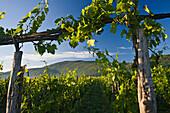 Vines in the sunlight, Kvarner Gulf, Krk Island, Istria, Croatia, Europe
