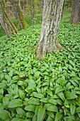 Forest floor covered with wild garlic, Danube-Auen National Park, Lower Austria, Austria
