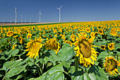 Wind turbines seen across a field full of sunflowers, Wind energy, Lower Austria, Austria