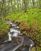 Stream flowing through a birch wood, Forest, Nordland, Norway