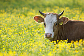 Young cow lying on a Spring meadow, Domestic cattle, Muensing, Bavaria, Germany