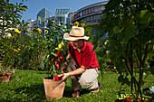 Man harvesting red peppers, Urban Gardening, Urban Farming, Stuttgart, Baden Wurttemberg, Germany