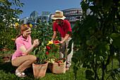 Couple, man and woman harvesting red peppers, Urban Gardening, Urban Farming, Stuttgart, Baden Wurttemberg, Germany