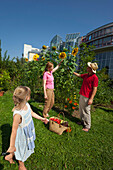 Family, father, mother and child harvesting tomatoes, Urban Gardening, Urban Farming, Stuttgart, Baden Wurttemberg, Germany