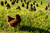 Chicken in an alpine meadow with hay bales, Val Pusteria, South Tyrol, Italy, Europe
