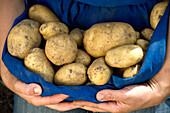 Woman showing potatoe harvest in apron, South Tyrol, Trentino-Alto Adige, Italy