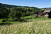 Flower meadow and farm house in the sunlight, Kastelruth, Schlern, Alto Adige, South Tyrol, Italy, Europe