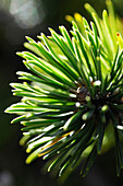 Close up of pine needles in the sunlight, Val Pusteria, Alto Adige, South Tyrol, Italy, Europe